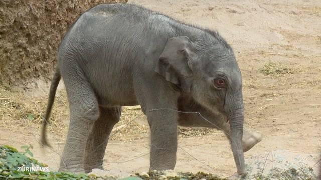 Elefantenbulle ist mit Weibchen überfordert