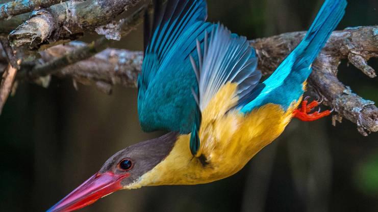 Der Storchschnabel-Eisvogel ist ein geschickter Jäger.