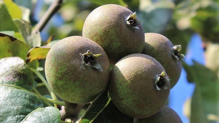 Alt, aber kaum noch bekannt: Die Schweizer Bratbirne. Fructus ernennt diese zur Obstsorte des Jahres 2020.