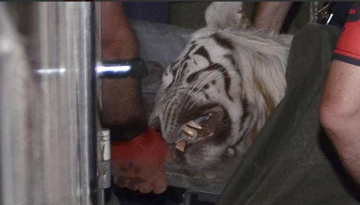 Der getötete Tiger in Tiflis