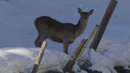 Der Zaun im Kopf: Hirsche stoppen an der Grenze (Symbolbild)