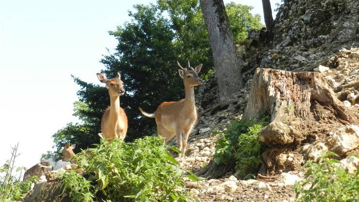 Die Hirsche suchen sich ein Plätzchen im Schatten und scheinen die Besucherinnen und Besucher des Tierparks Mühletäli zu begutachten.