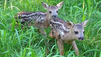 Fatal: Im hohen Gras finden Rehkitze Schutz vor anderen Tieren, sind aber Mähdreschern ausgeliefert.