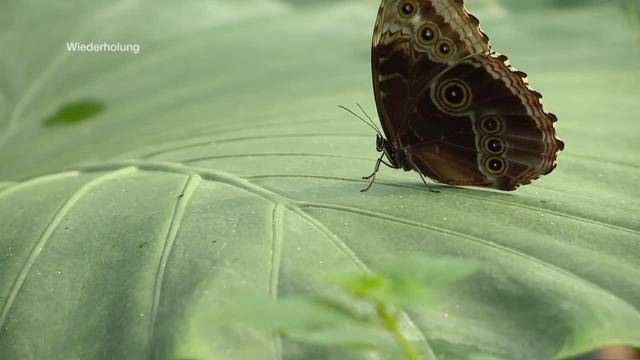Quizzenswert aus dem Papiliorama Kerzers