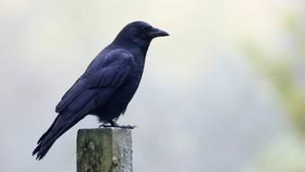 Das Vogelgrippe-Virus wurde bei einer Krähe festgestellt. Bislang gibt es keine Hinweise für eine Übertragbarkeit auf Menschen. (Symbolbild)