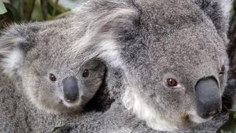 Sorgen um ihre Artgenossen wegen verbreiteter Buschfeuer: Koalas im Zoo von Sydney.