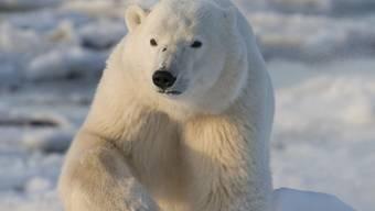 Seltener Angriff: Ein Eisbär hat in Kanada auf einer Insel in der Hudson Bay einen Menschen getötet. (Symbolbild)