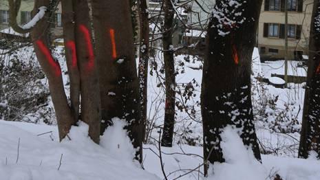 Markiert und zum Fällen freigegeben: Bäume am Ruttigerweg.