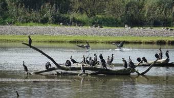 Der Kormoran als Wintergast auf dem Flachsee