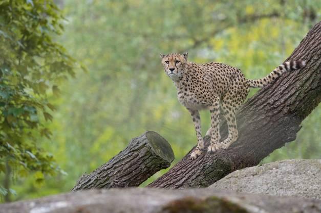 Die Geparden-Anlagen hinter den Kulissen sind für die Besucher nicht zugänglich.