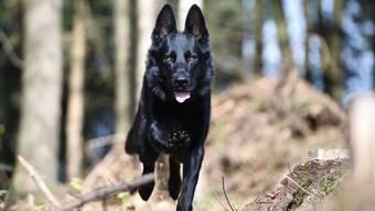 Rettete mit seiner Spürnase einem Teenager womöglich das Leben: Polizeihund «Wyk».