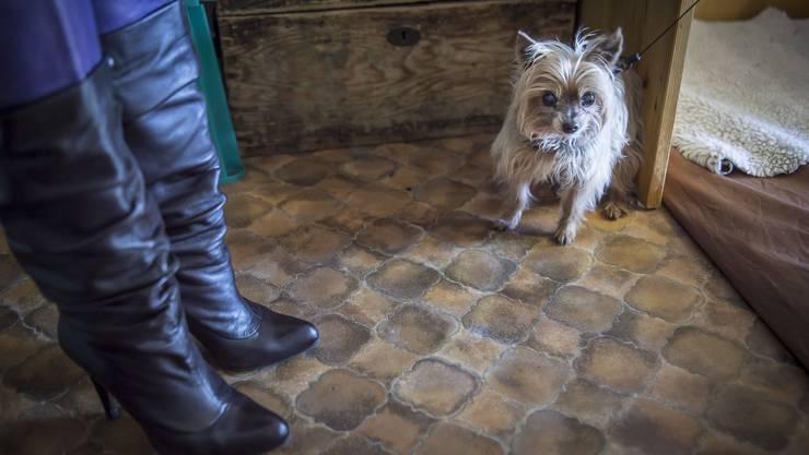 Neben den Schuhen seiner Besitzerin wartet Gipsy auf seine Schönheitsbehandlung.