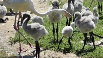 """Flamingo-Küken im Basler """"Zolli"""" (Archiv)"""
