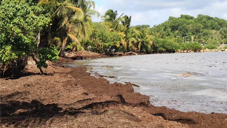 Die Traumstrände von Guadeloupe sind keine mehr: Braunalgen überziehen die Küsten der Insel.