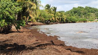 Karibik Algen