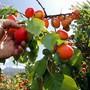 Hervorragende Aprikosenernte im Wallis dank optimalem Wetter. Die rund 150 Walliser Produzenten produzieren 97 Prozent der Schweizer Aprikosen und decken die Hälfte des Verbrauchs in der Schweiz. (Archivbild)