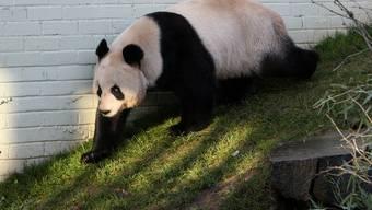 Pandaweibchen Tian Tian im Zoo von Edinburgh (Archiv)