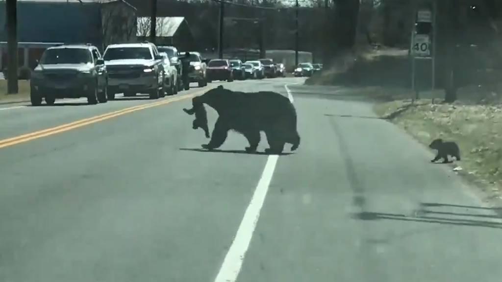 Bären-Babys verursachen Stau und bringen ihre Mutter zur Verzweiflung
