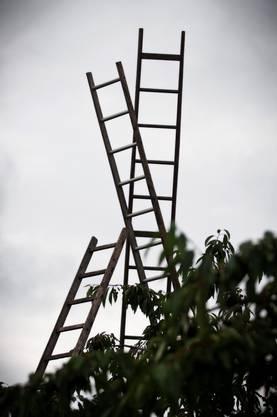 Die riesigen Leitern, auf den die Kirschen gepflückt werden, ragen hoch bis in den Himmel