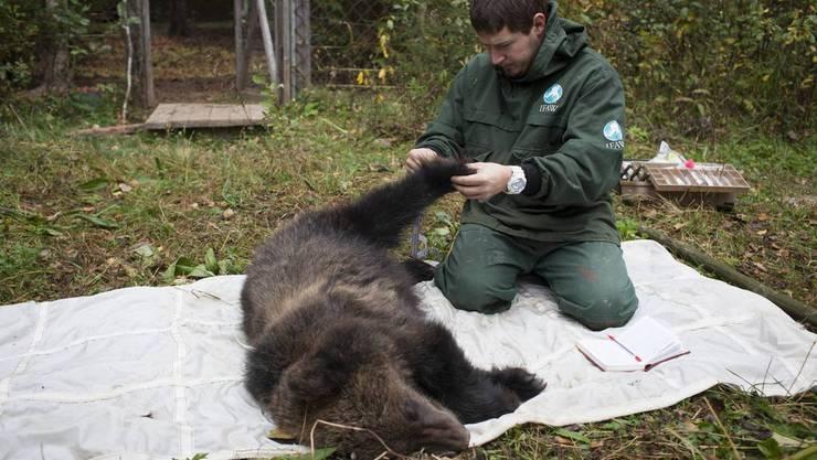 Bärenhandel: Die Bärengalle gilt als Heilmittel, doch nun sind Tatzen, Ohren und Fleisch des Bären gefragt in Asien