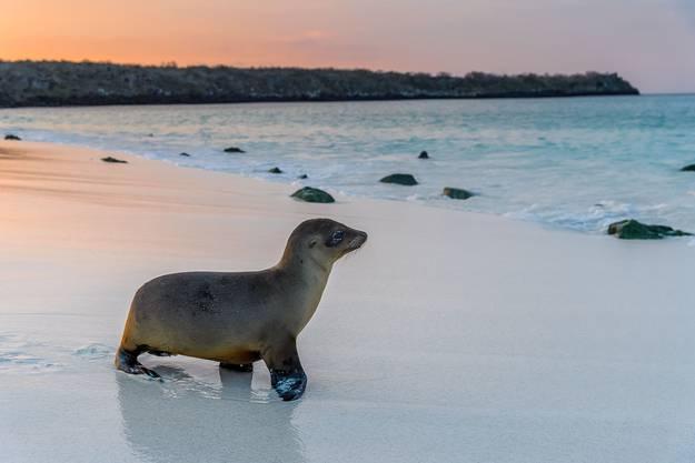 Ein Seelöwenbaby spaziert bei Sonnenuntergang zurück ins Meer.
