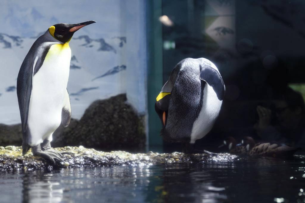 Pinguinzuwachs im Zoo Zürich (© KEYSTONE/Manuel Lopez)