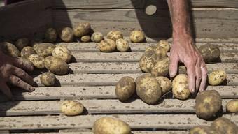 Kartoffeln aus der Schweiz sind derzeit Mangelware. (Archiv)