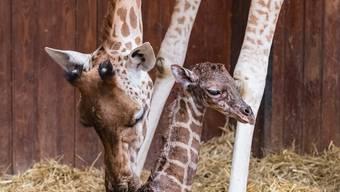 Wieder junge Giraffe im Zolli