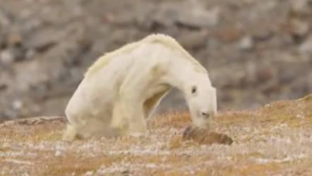 Herzzerreissendes Video zeigt Eisbären kurz vor dem Hungertod