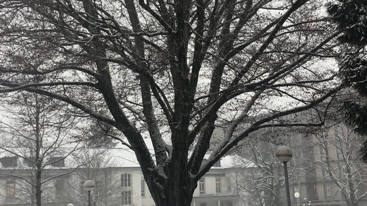 Im Krähenbaum am Kantonsspital Aarau sind keine Nester mehr zu finden.