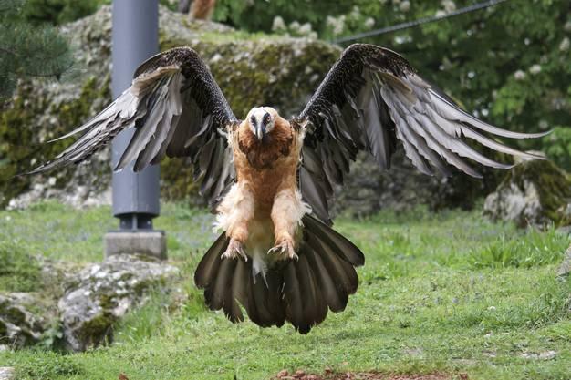Bartgeier im Landeanflug- ganz schön beeindruckend!