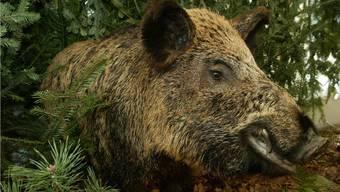 Im unteren Fricktal, insbesondere im Gemeindebann von Olsberg, richten Wildschweine grosse Schäden an.