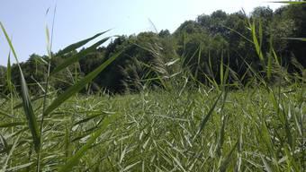 Die offene Moorfläche des Chlepfibeermoos wird vom Waldgürtel bedroht.