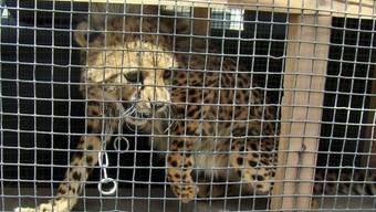 Konnte eingefangen werden: Der frei laufende Gepard