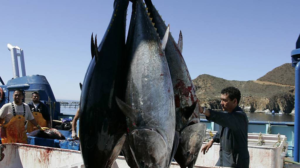 Der Fischbestand nimmt ab. Die Weltmeere sind überfischt, was unter anderem auf staatliche Subventionen für die Fischerei zurückzuführen ist. Diese schädlichen Subventionen sollen aber bald Geschichte sein. Im Bild Thunfisch, gefangen von mexikanischen Fischern. (Archivbild)
