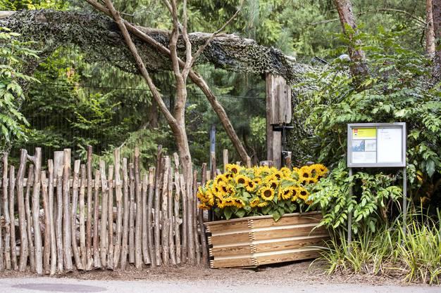 Das Gefäss mit den Sonnenblumen vor dem Tiger-Gehege im Zoo Zürich.