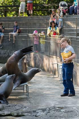 Ein akrobatisches Kunststück der Seelöwin