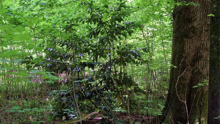 Der Kirschlorbeer verbreitet sich im Dietiker Honeret unaufhaltsam, weil die Leute ihr Grüngut im Wald deponieren.