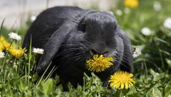 Meerschweinchen, Kaninchen und andere Nager schlafen vorzugsweise in Brustlage. (Archivbild)