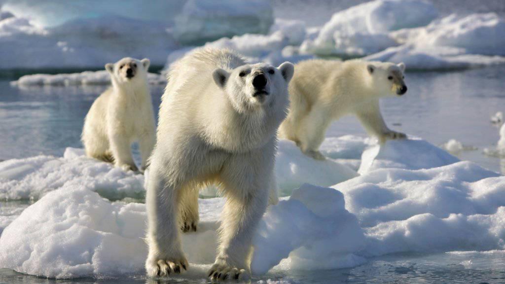 Durch den Klimawandel verlängern sich für die Eisbären in der Arktis mit den eisfreien Zeiten auch die Hungerperioden. (Archivbild)