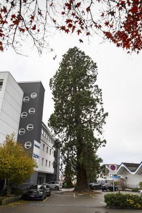 Der Mammutbaum bei der Bonainvest an der Weissensteinstrasse.