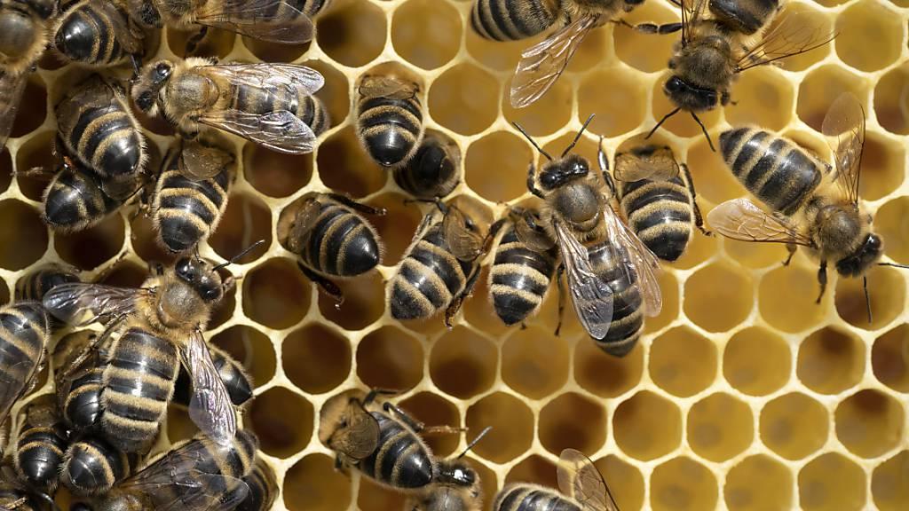 Der Winterverlust an Bienenvölkern ist gestiegen: Honig-Bienen auf einem Brutrahmen in Zürich.