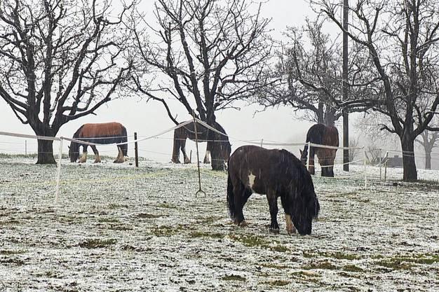 Die Pferde im Thurgauischen Illhart kümmerts nicht.