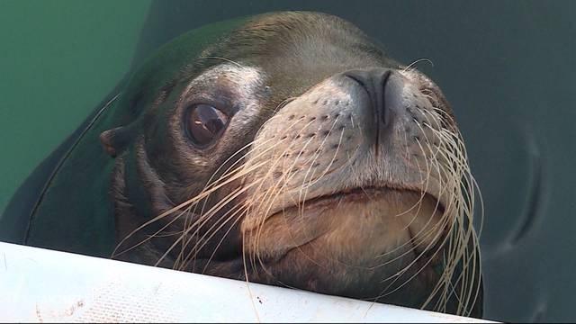 Fricktaler Seelöwe Otto ist tot