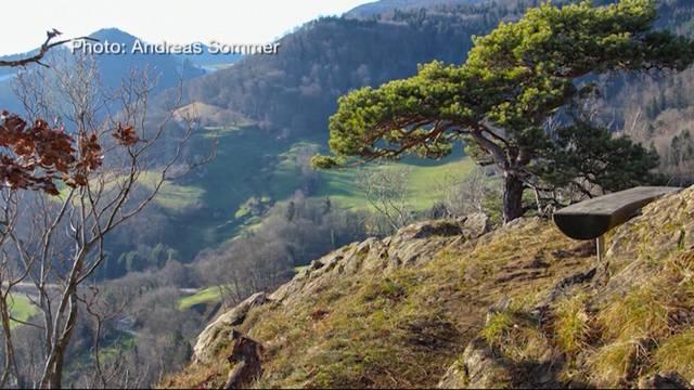 Baumfäller von 100-jähriger Wahrzeichen-Föhre  vor Gericht