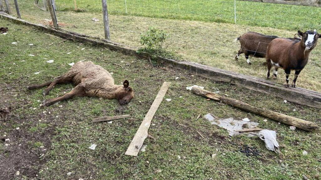 Auf dem Hof des verurteilten Hobby-Tierhalters in Oftringen AG wurden im Februar 2020 auch verendete Tiere aufgefunden. (Archivbild)