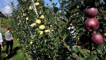 Zucht und Degustation von Bio-Äpfeln auf dem Rigi-Hof