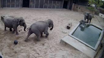Wer den Elefantenbullen Maxi nervt, muss mit Konsequenzen rechnen – das erfährt hier seine Enkelin Ruwani.