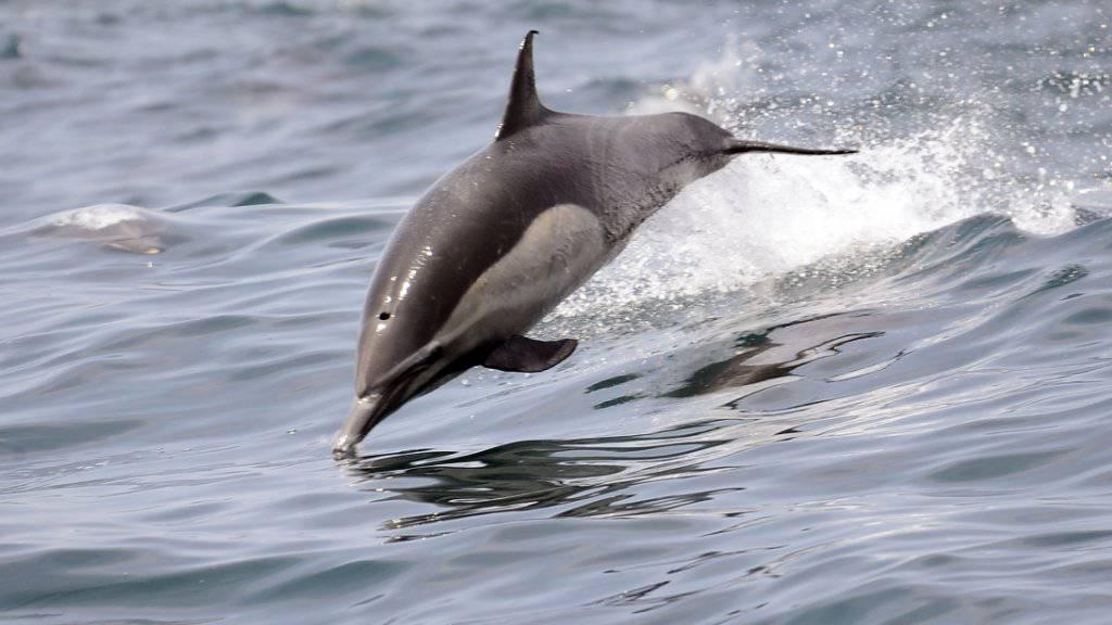 Delfine sind sehr soziale Tiere. Trotzdem behalten die männlichen Tümmler lebenslang ihre charakteristischen Pfeiflaute quasi als Namen bei. (Symbolbild)