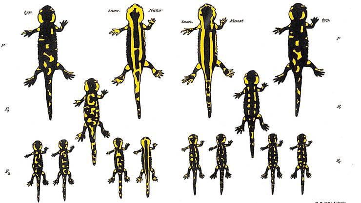 Feuersalamander auf gelbem Boden werden gelber, auf dunklem Boden eher schwarz – auf lange Sicht. Das glaubte wenigstens Paul Kammerer.